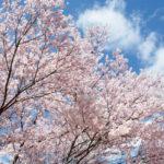 桜が舞う頃に